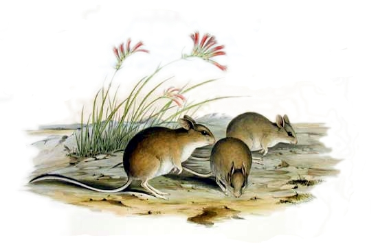 Mitchell's Hopping Mouse