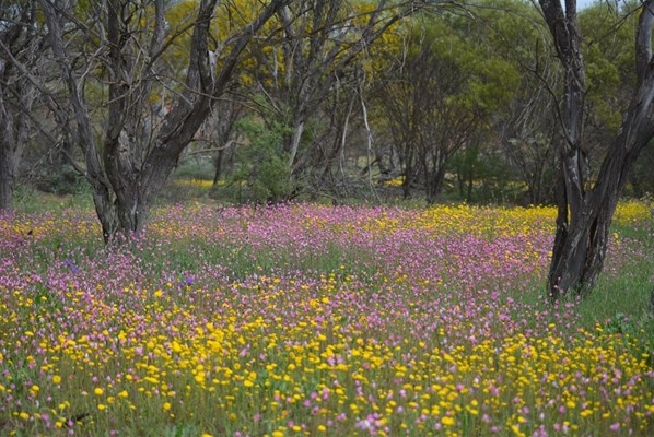 Wildflowers - Pink Yellow Everlastings