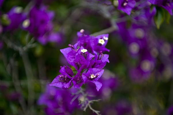 Wildflowers - purple